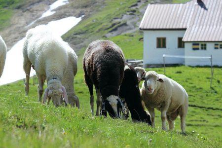 Die kuschligen Schafe am Kaiserjochhaus