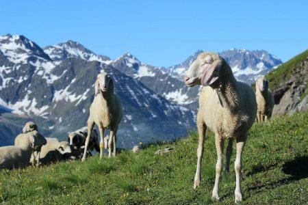 Schafe vor Bergpanorama